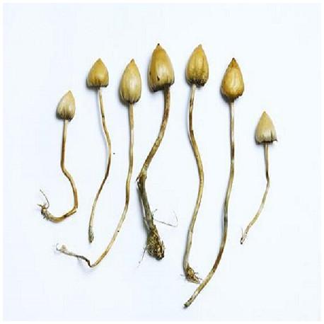 Psilocybe Semilanceata Spores