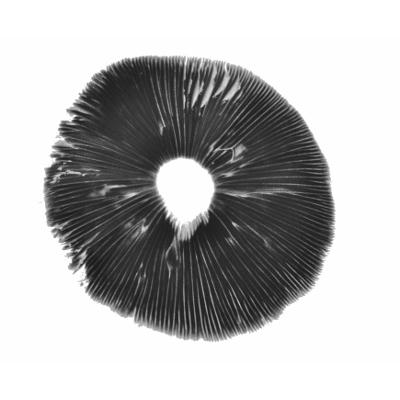Burma psilocybe cubensis spore print